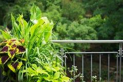 有装饰物的俏丽的阳台大农场主罐离开植物 免版税库存照片