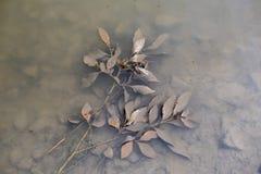 有褐色叶子的一根枝杈在水池淹没了 免版税库存图片