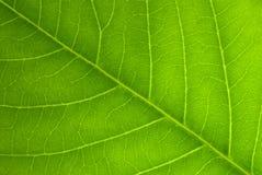 有角度的叶子静脉 免版税库存图片