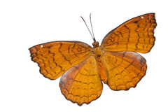 有角度的铸工蝴蝶顶视图  免版税库存照片