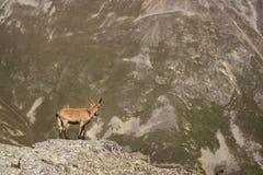 有角的在高岩石石头的山羊公高山山羊属高地山羊在Dombay山 高加索横向山北部全景 俄国 免版税图库摄影