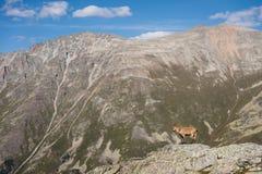 有角的在高岩石石头的山羊公高山山羊属高地山羊在Dombay山 高加索横向山北部全景 俄国 免版税库存照片