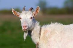 有角的山羊 免版税库存照片