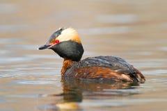 有角的格里布Podiceps auritus游泳在池塘 库存照片