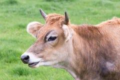 有角的棕色母牛画象头  免版税库存照片