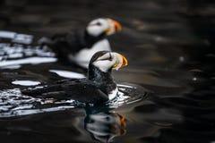有角的海鹦夫妇在早期的春天 库存图片
