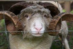 有角的绵羊 免版税图库摄影