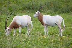 有角的羚羊属短弯刀二 免版税库存图片