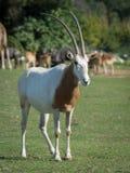 有角的羚羊属短弯刀 免版税库存图片