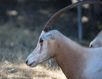 有角的羚羊属短弯刀 免版税库存照片