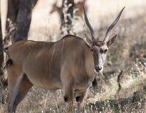 有角的羚羊属短弯刀 库存照片
