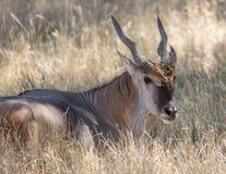 有角的羚羊属短弯刀 免版税图库摄影