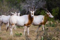 有角的羚羊属短弯刀 库存图片