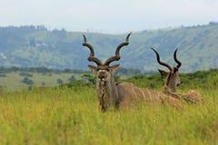 有角的羚羊,徒步旅行队公园在南非 库存图片