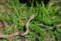 有角的蛇蝎 免版税图库摄影