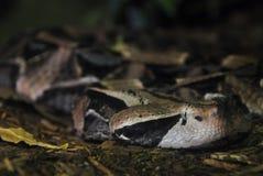 有角的蛇蝎 免版税库存图片