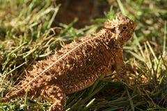有角的蜥蜴得克萨斯 库存照片