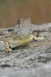 有角的蜥蜴得克萨斯 免版税库存图片