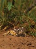 有角的蜥蜴得克萨斯toadn 库存照片