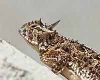 有角的蜥蜴灰泥得克萨斯墙壁 免版税库存图片
