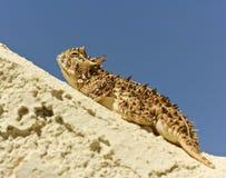 有角的蜥蜴灰泥得克萨斯墙壁 库存照片
