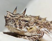 有角的蜥蜴灰泥得克萨斯墙壁 免版税图库摄影