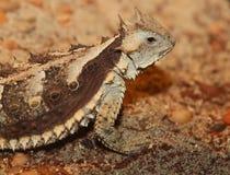 有角的蜥蜴 免版税库存图片