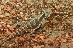 有角的蜥蜴 库存图片