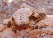 有角的蜥蜴modestum被盯梢的phrynosoma来回 图库摄影