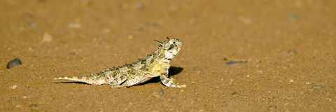 有角的蜥蜴phrynosoma 库存图片