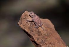 有角的蜥蜴在亚利桑那, Phyrnosoma hernandesi 库存照片