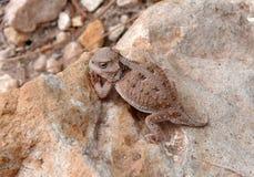 有角的蜥蜴山短小 免版税库存照片