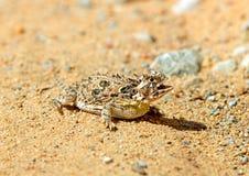 有角的蜥蜴得克萨斯 图库摄影