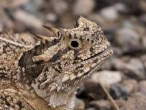 有角的蜥蜴得克萨斯 免版税库存照片