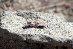 有角的蜥蜴 免版税库存照片