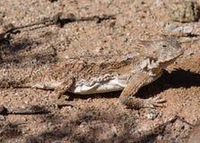 有角的蜥蜴 库存照片