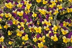 有角的蝴蝶花紫罗兰 库存图片