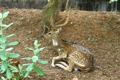 有角的鹿 库存照片