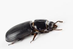 有角的黑scarb甲虫 库存照片