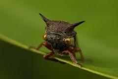 有角的treehopper 免版税图库摄影