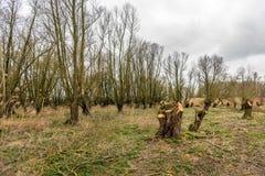有角被割下的动物柳树的部分地被修剪的森林在结束时 免版税库存照片