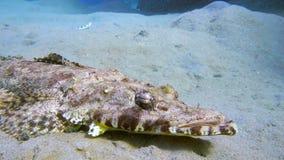 有触角扁平头在红海,埃及 图库摄影