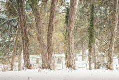有许多大树、杉木和常春藤的, backgr冬天美丽的公园 库存图片