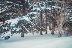 有许多树的冬天森林在雪 库存图片