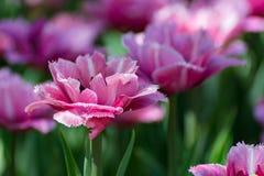 有许多桃红色郁金香在春天庭院 免版税库存图片