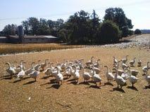 有许多白色鹅的家禽场 免版税库存图片