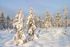 有许多的云杉的森林雪 免版税图库摄影