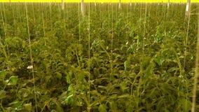 有许多的巨大的高科技温室蕃茄生长 影视素材