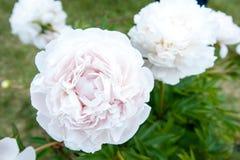 有许多的布什美丽的白色母亲` s挑选牡丹开花 库存照片