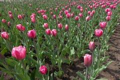 有许多的花圃在绽放的桃红色郁金香 库存图片